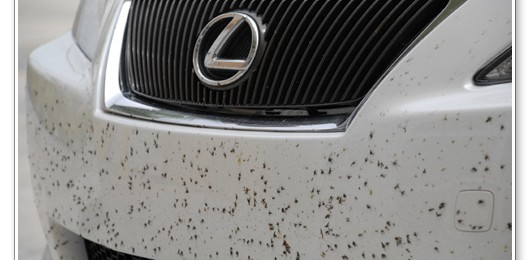 How to Remove Love Bugs From Your Car