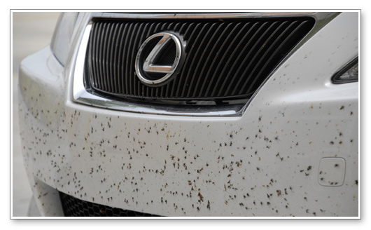 Yup Love Bug Season Is Imminent Here In Charleston And Everybody Dreading The Havoc These Pesky Insects Will Cause Particularly When It Comes To Their